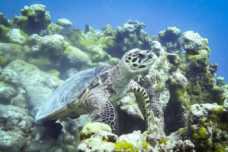 Turtle ID 'Seawood' %91EI0901%93 Makunudhoo Reef North Male Atoll Maldives