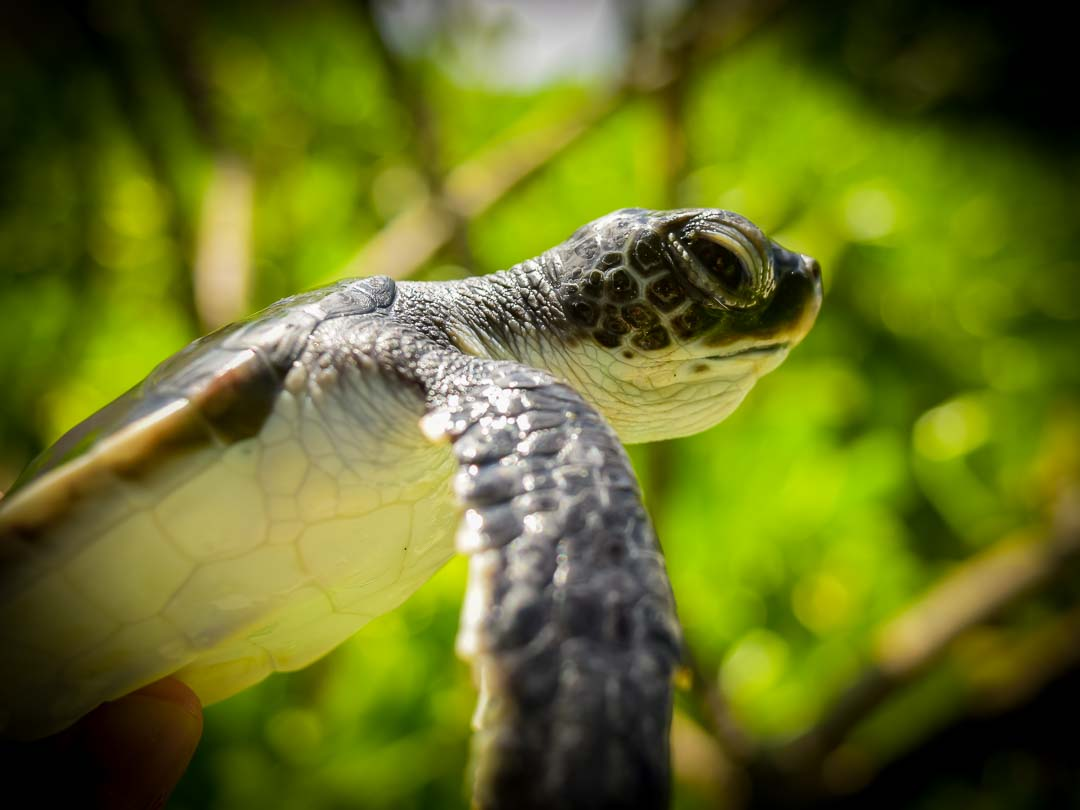 Deeko Green Turtle hatchling Marine Savers Maldives