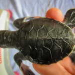Head start Green turtle hatchling Franklin