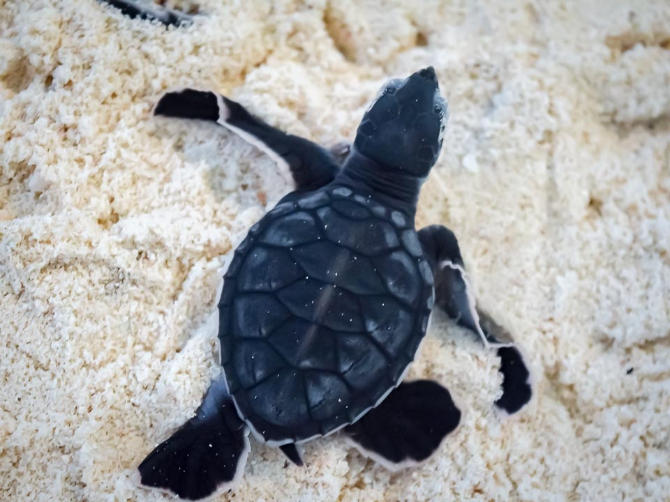 Head start Green turtle hatchlings N135 (Centara Ras Fushi)