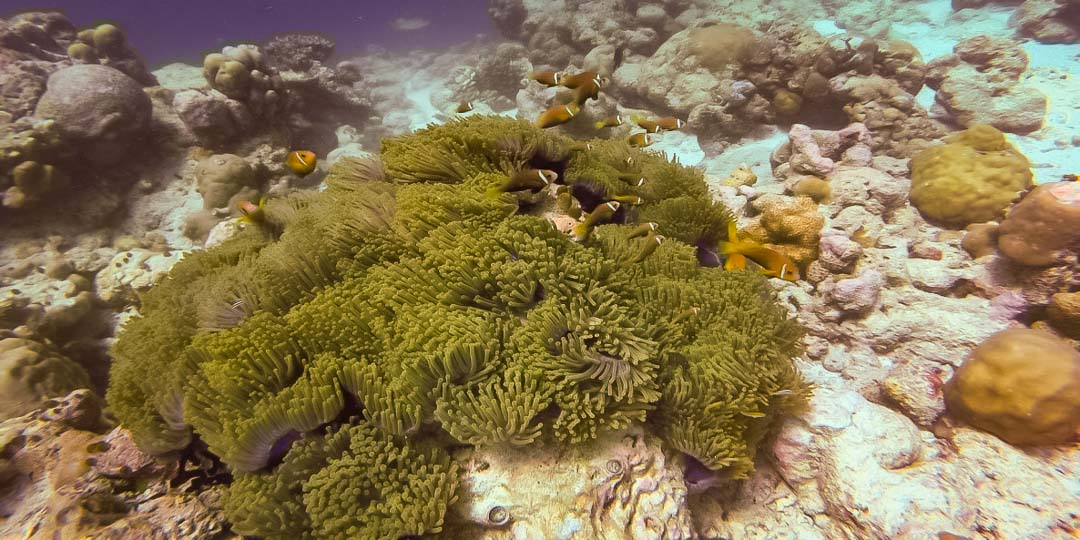 Jean-Gabriel Internship – Marine Savers Maldives – clownfish
