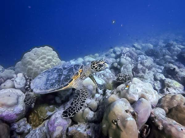 Jean-Gabriel Internship – Marine Savers Maldives – young hawksbill (Mary)