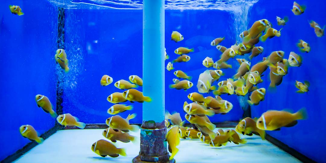 Fish Lab - Maldivian clownfish