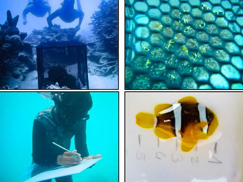 Fish Lab – clownfish breeding and release – Marine Savers Maldives [LG 2017.11]