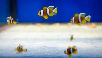 JG intern – Clarks Clownfish juveniles – Marine Savers Maldives