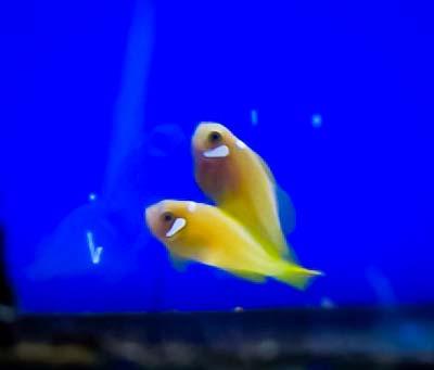 JG intern – Maldivian Clownfish juveniles – Marine Savers Maldives