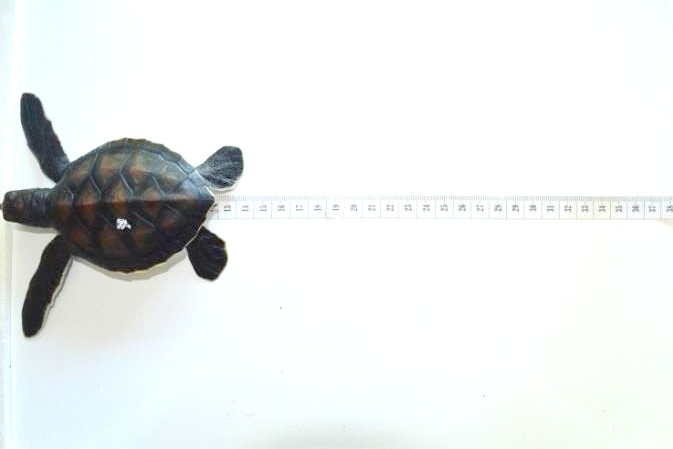 Sea turtle morpho-evolution Marine Savers Maldives [KH 2017.09] (2)