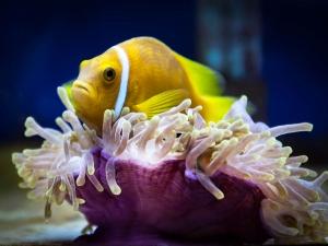 Maldivian Clownfish with anemone [5656] (Jean-Gabriel's Clownfish Tales)