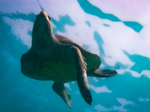 Marion release adult female Olive Ridley turtle Maldives (0290) (Marion)