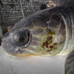 Rescued olive ridley turtle 'Chomper' Marine Savers Maldives