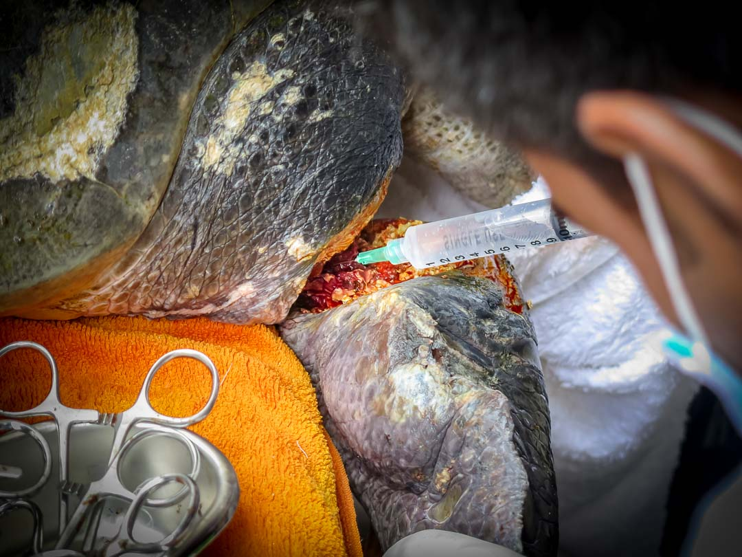 Rescued Olive Ridley turtle requiring surgery