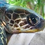 Donatello rescue Olive Ridley turtle Marine Savers Maldives [RB.LO131]