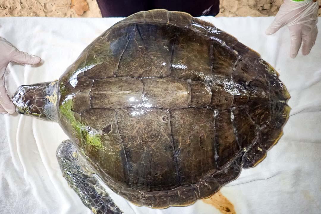 Donny adult female Olive Ridley turtle (amputation) Marine Savers Maldives