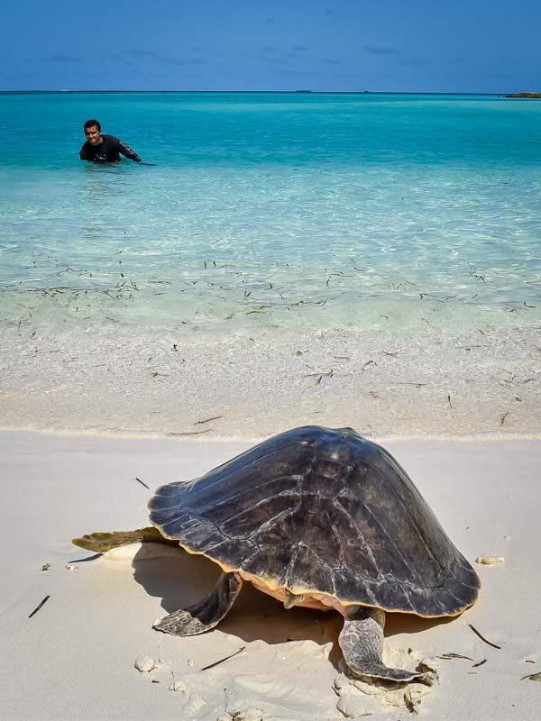 Donny's release (7) turtle rehabilitation Marine Savers Maldives