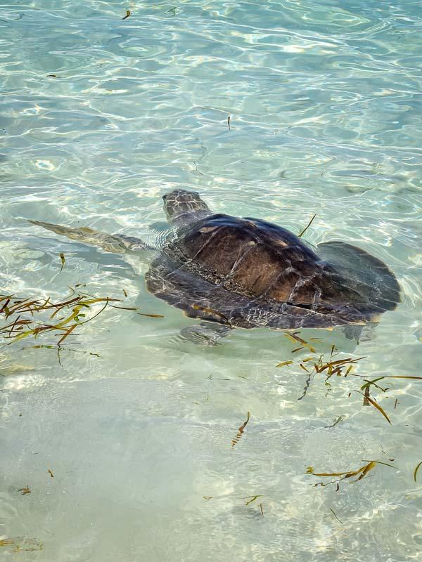 Donny's release (8) turtle rehabilitation Marine Savers Maldives