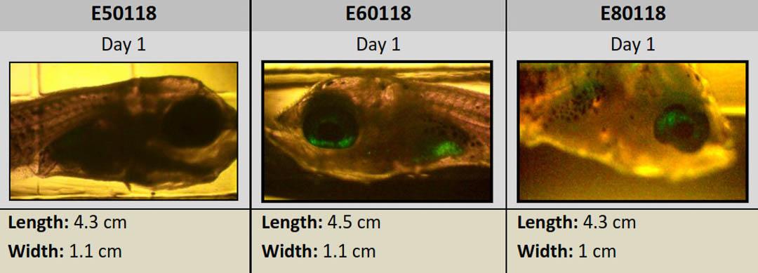 Fish Lab - fish larvae under the microscope Maine Savers Maldives
