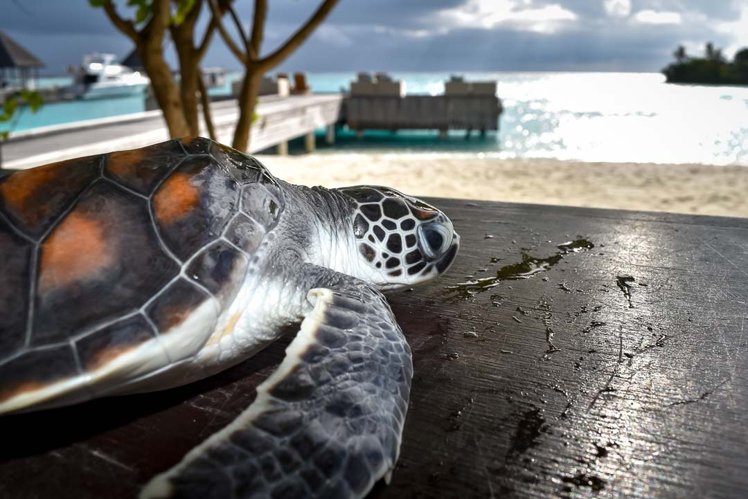 Franklin - Green Turtle Marine Savers Maldives