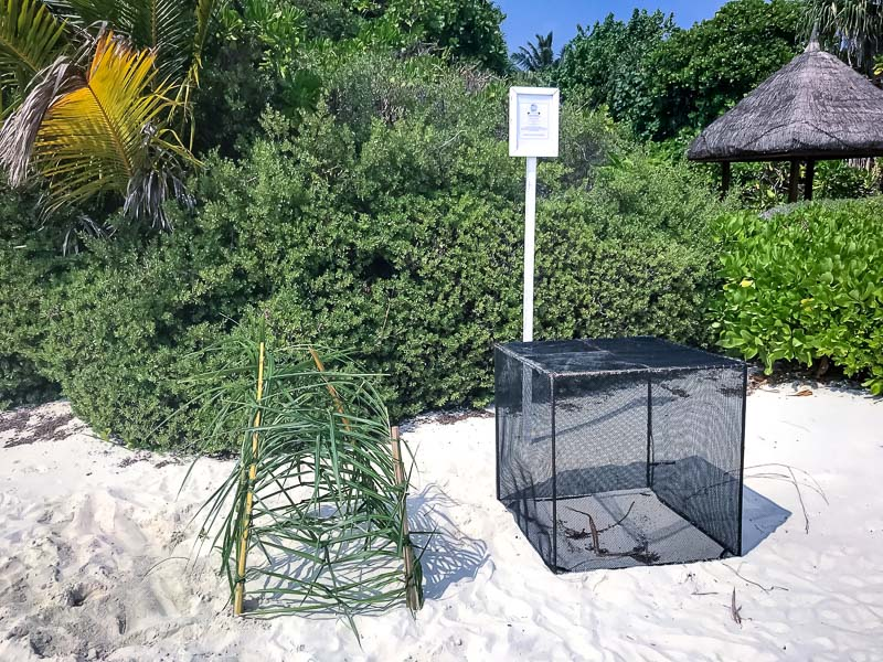 Green turtle nest 1 & 3, protected Marine Savers Maldives