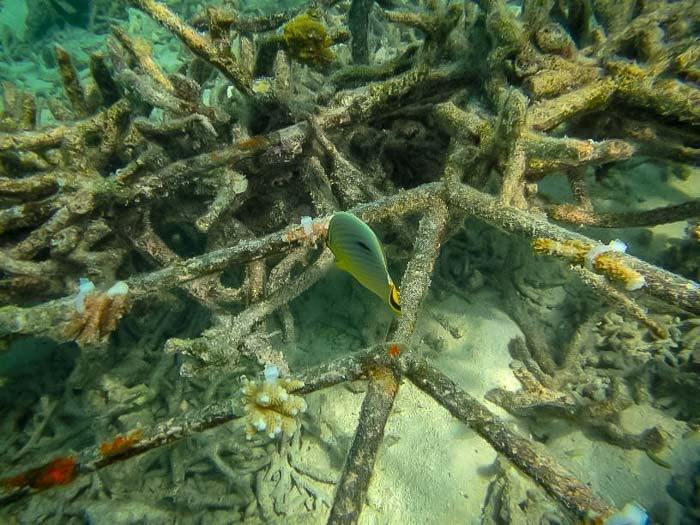 Reefscapers Maldives – Redfin butterfly fish eating Acropora coral fragments [KH 2018.06] (1)