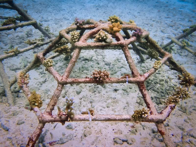 Reefscapers healthy coral frames Kuda Huraa Maldives