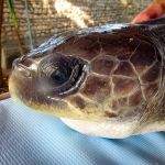 Rescued olive ridley turtle 'EDDIE' Marine Savers Maldives