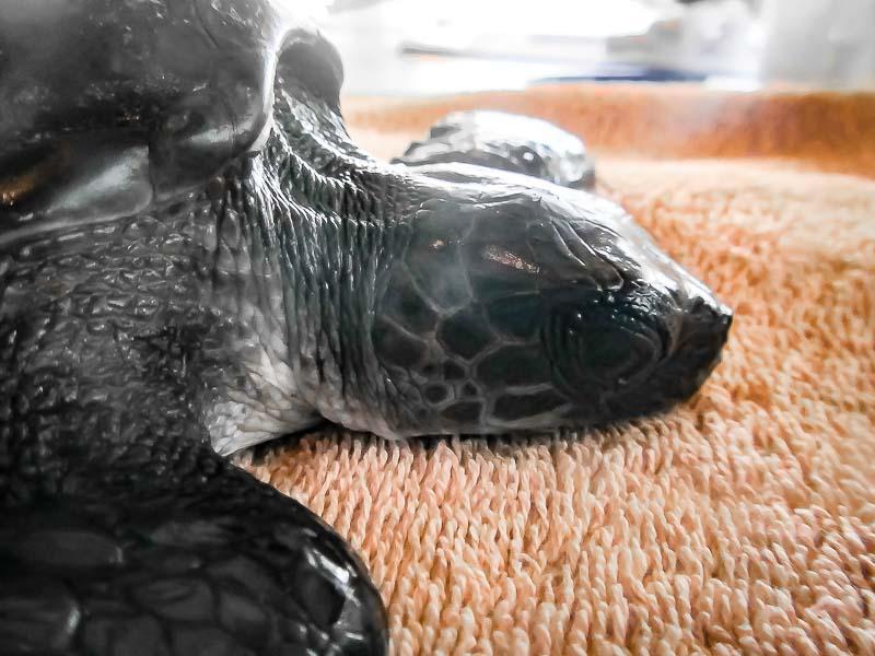 Rescued olive ridley turtle 'Luna' Marine Savers Maldives RB.LO.130 [4691]