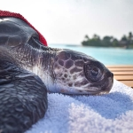 Rescued olive ridley turtle 'SNOOPY' Marine Savers Maldives