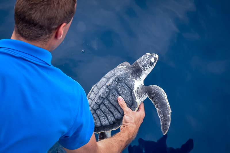 Snoopy juvenile Olive Ridley turtle release Maldives
