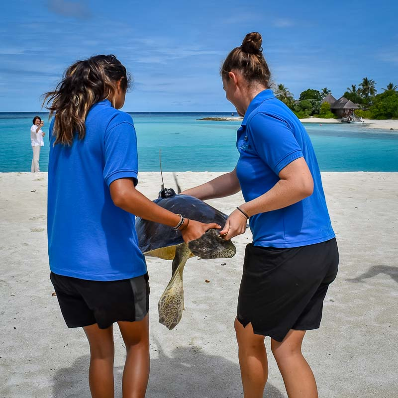 Stevie rescue Olive Ridley turtle Marine Savers Maldives