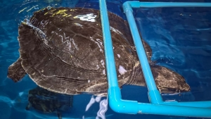 Trooper ghost net injured Olive Ridley turtle Maldives Marine Savers (Trooper)