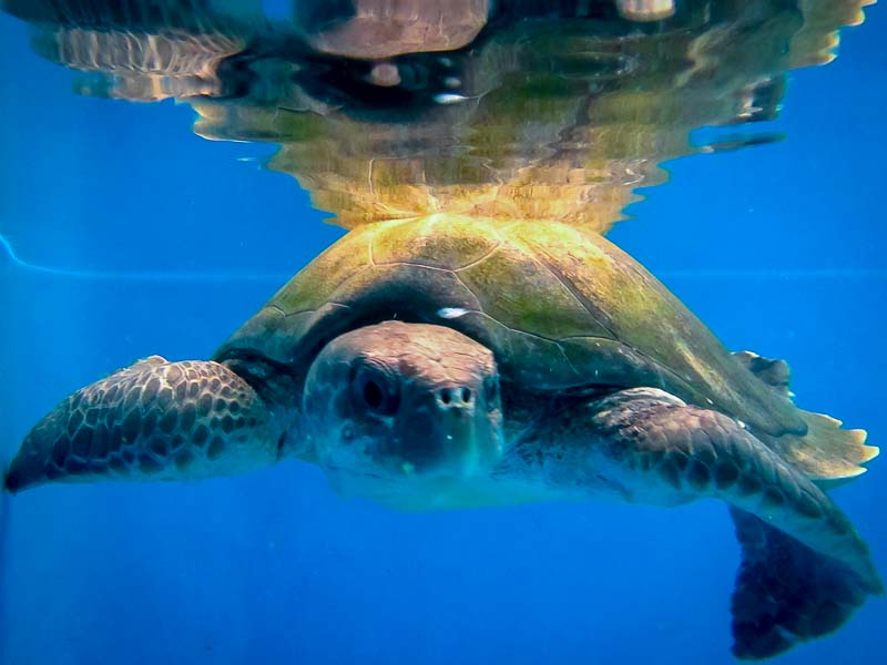 Mitte rescue Olive Ridley turtle Marine Savers Maldives [RB.LO.132]