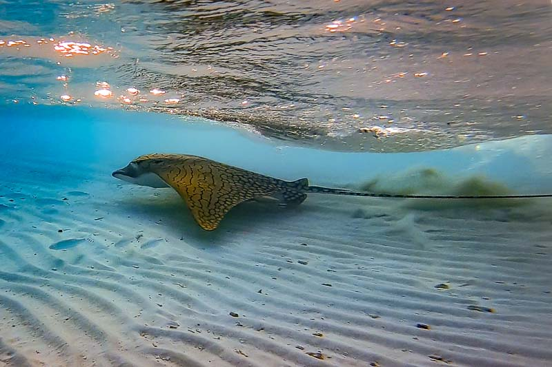 Ornate eagle ray (Aetomylaeus vespertilio) Baa Atoll, Maldives (Hussain Suja)