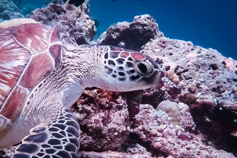 Turtle ID Maldives - Green turtle CM159 [KH 2018.03]