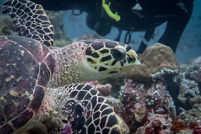 Turtle ID – Hawksbill turtle EI0447 'Hana' [KH 2018.04]