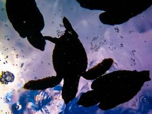 Hawksbill turtle hatchlings Marine Savers Maldives Voavah (0241) (N015 VO)