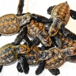 Hawksbill turtle hatchlings N016 Marine Savers Maldives