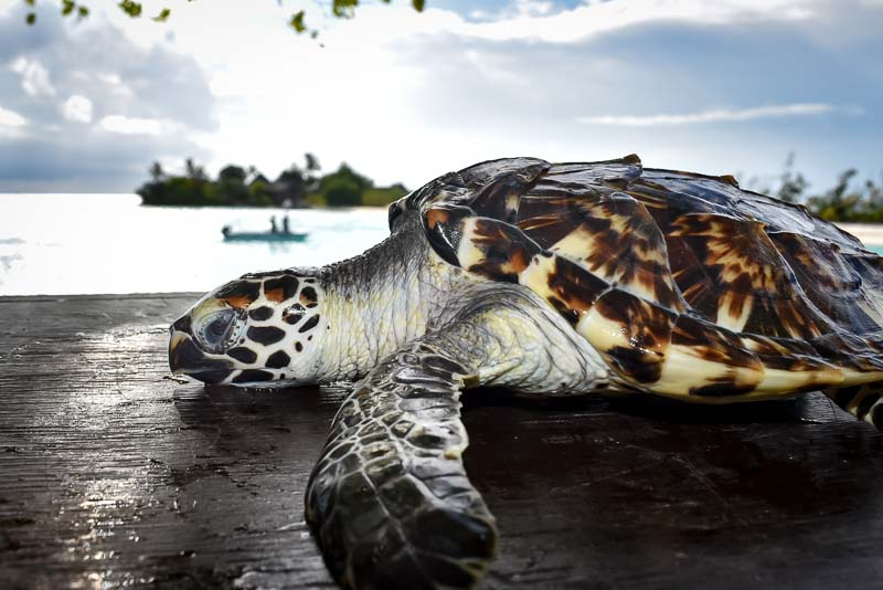 Shelby sea turtle centre Marine Savers Maldives