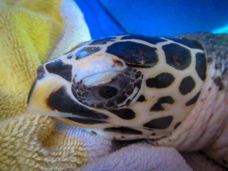 Banana (1) turtle rehabilitation Marine Savers Maldives