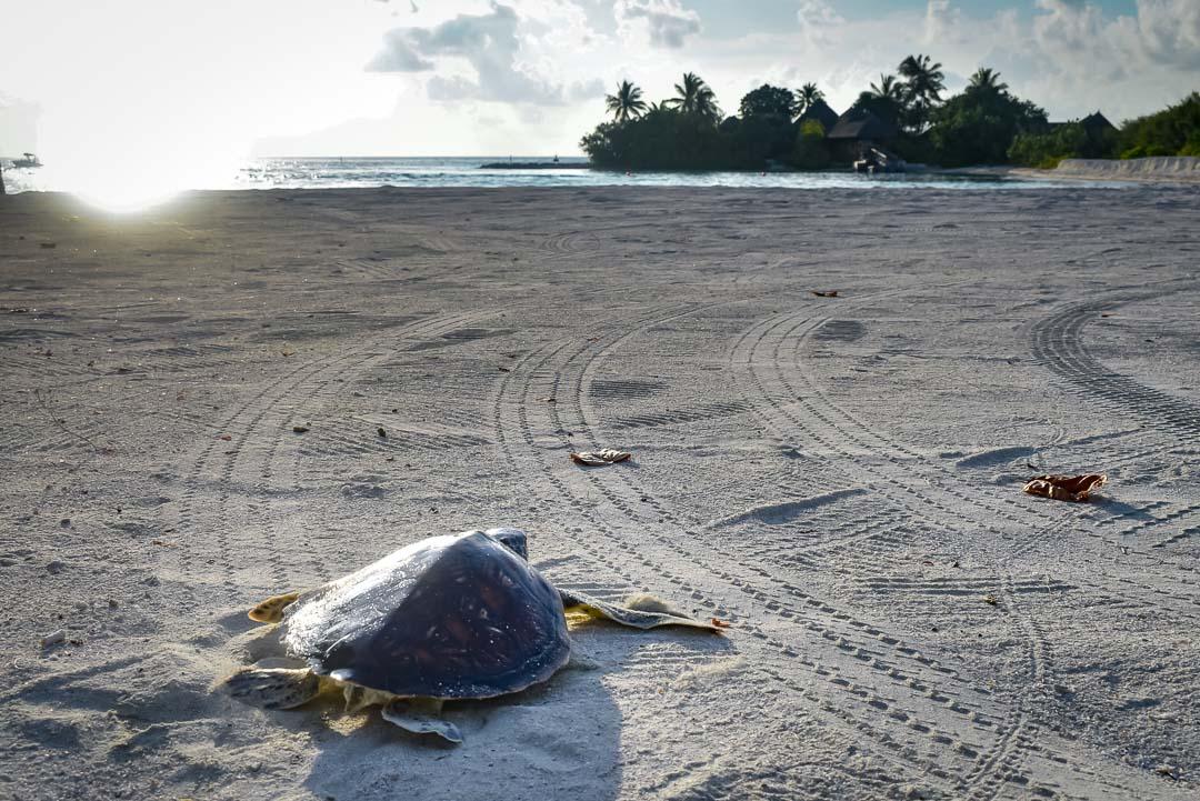 Indra hybrid turtle release Marine Savers Maldives [0004]