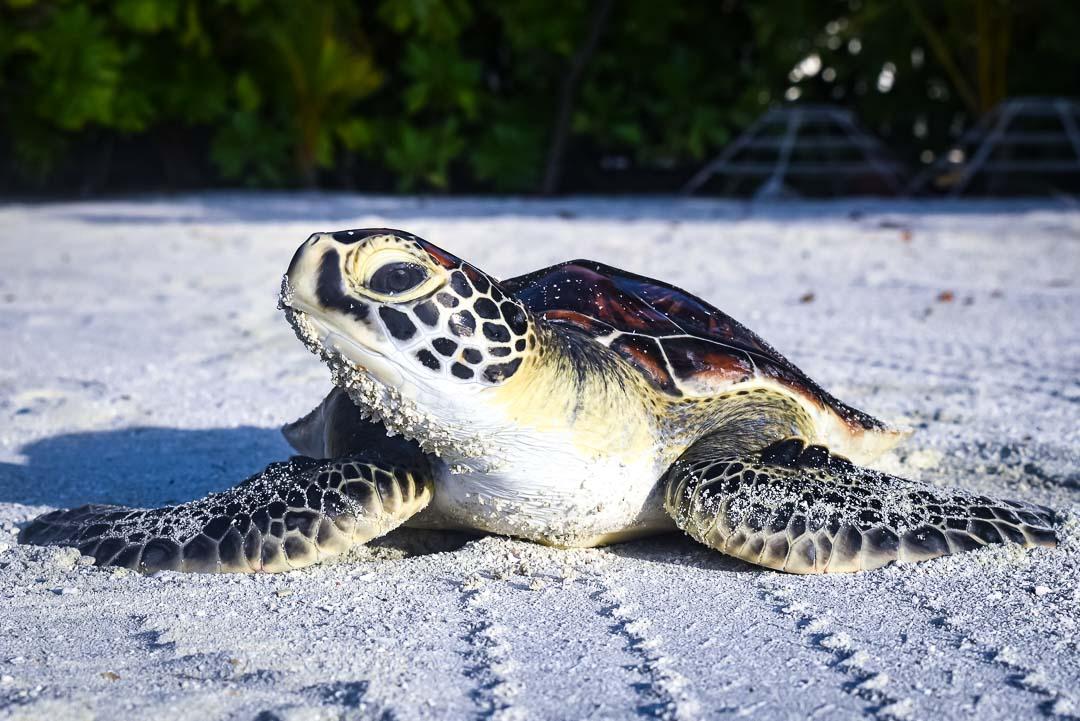 Indra hybrid turtle release Marine Savers Maldives [0008]