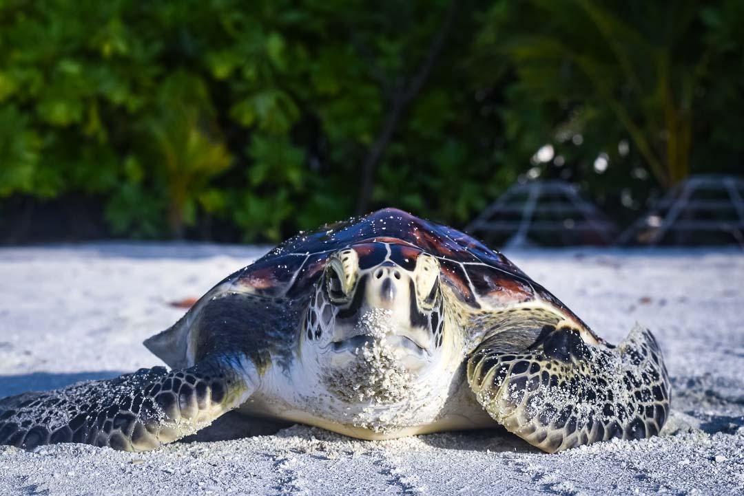 Indra hybrid turtle release Marine Savers Maldives [0015]