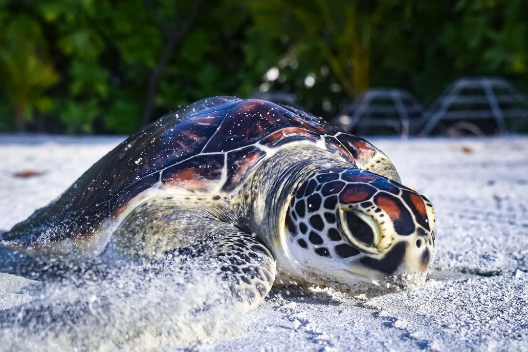 Indra hybrid turtle release Marine Savers Maldives [0018]