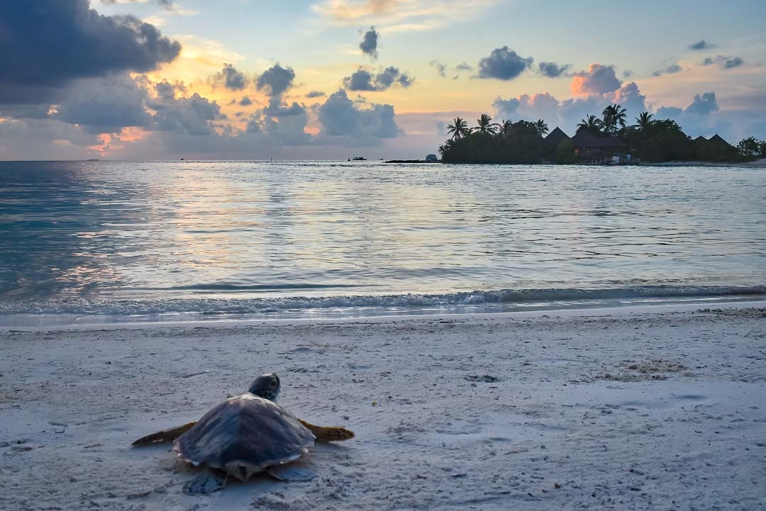 Indra hybrid turtle release Marine Savers Maldives [0054]