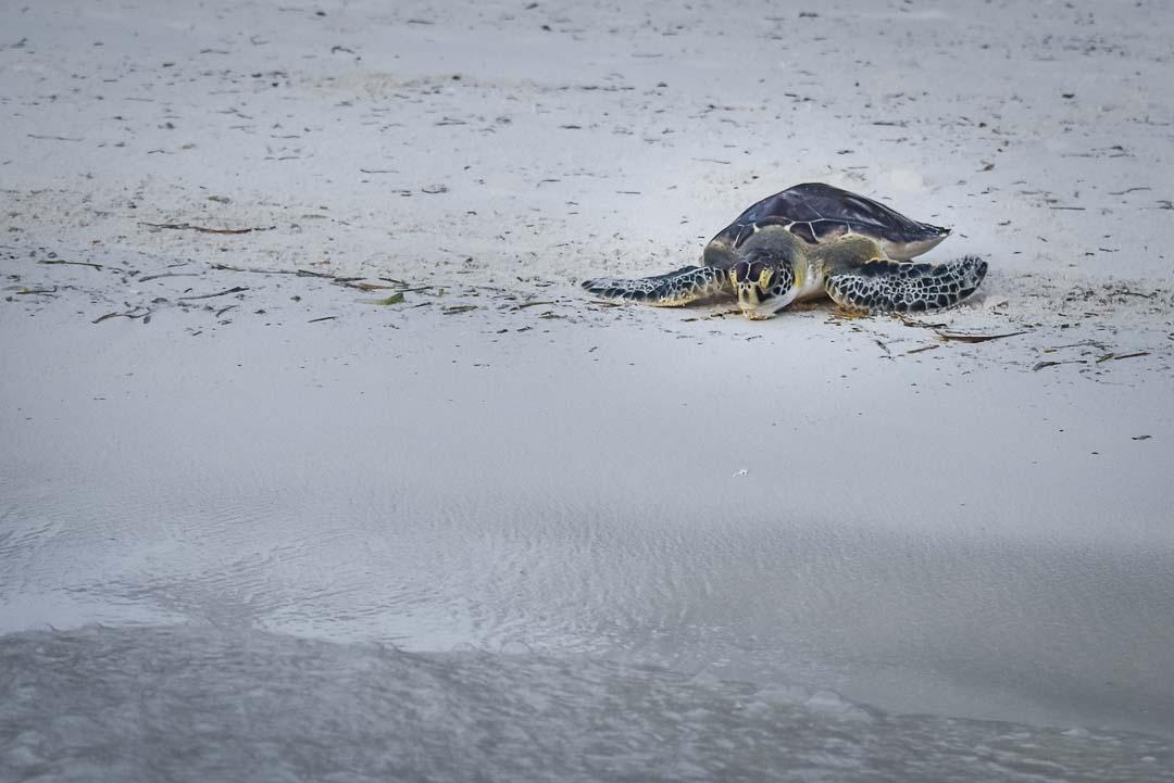 Indra hybrid turtle release Marine Savers Maldives [0067]