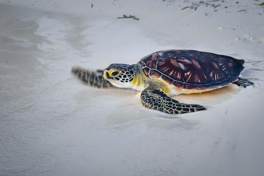 Indra hybrid turtle release Marine Savers Maldives [0074]