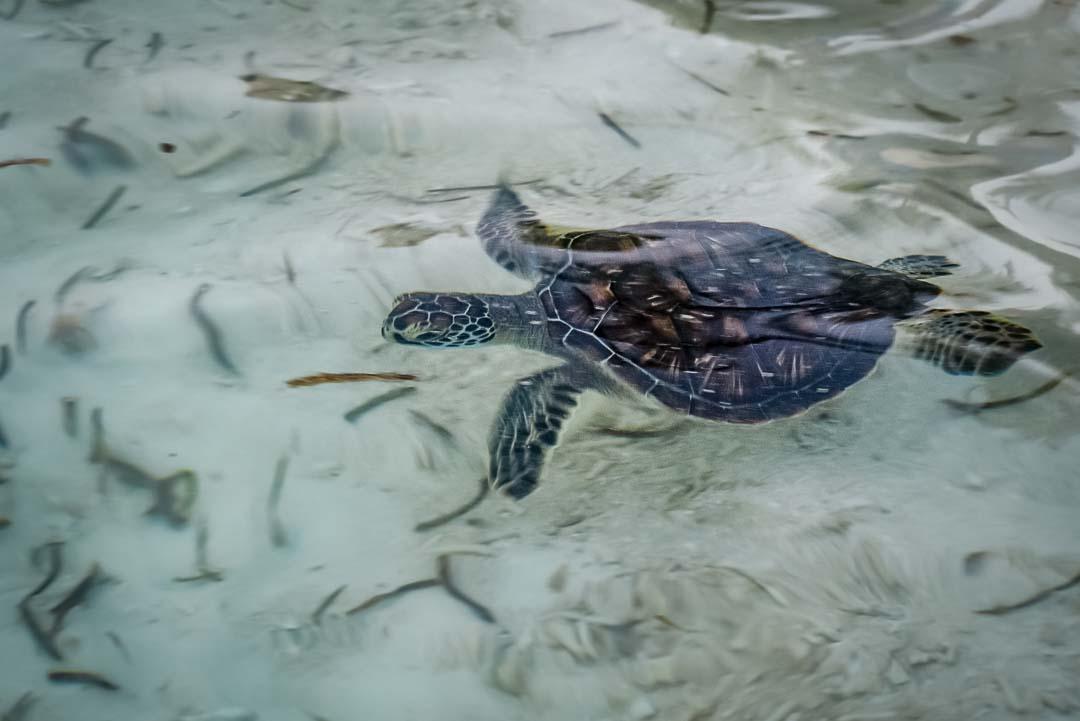 Indra hybrid turtle release Marine Savers Maldives [0082]