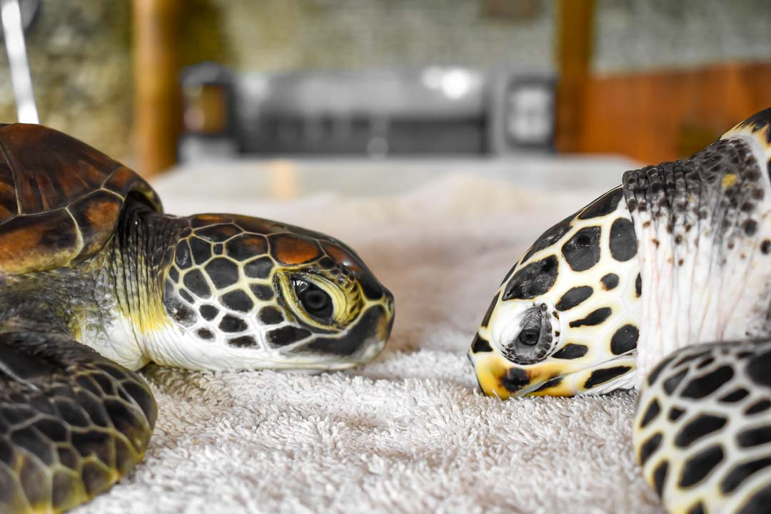 Facial profile of Indra (left) and a Hawksbill Turtle