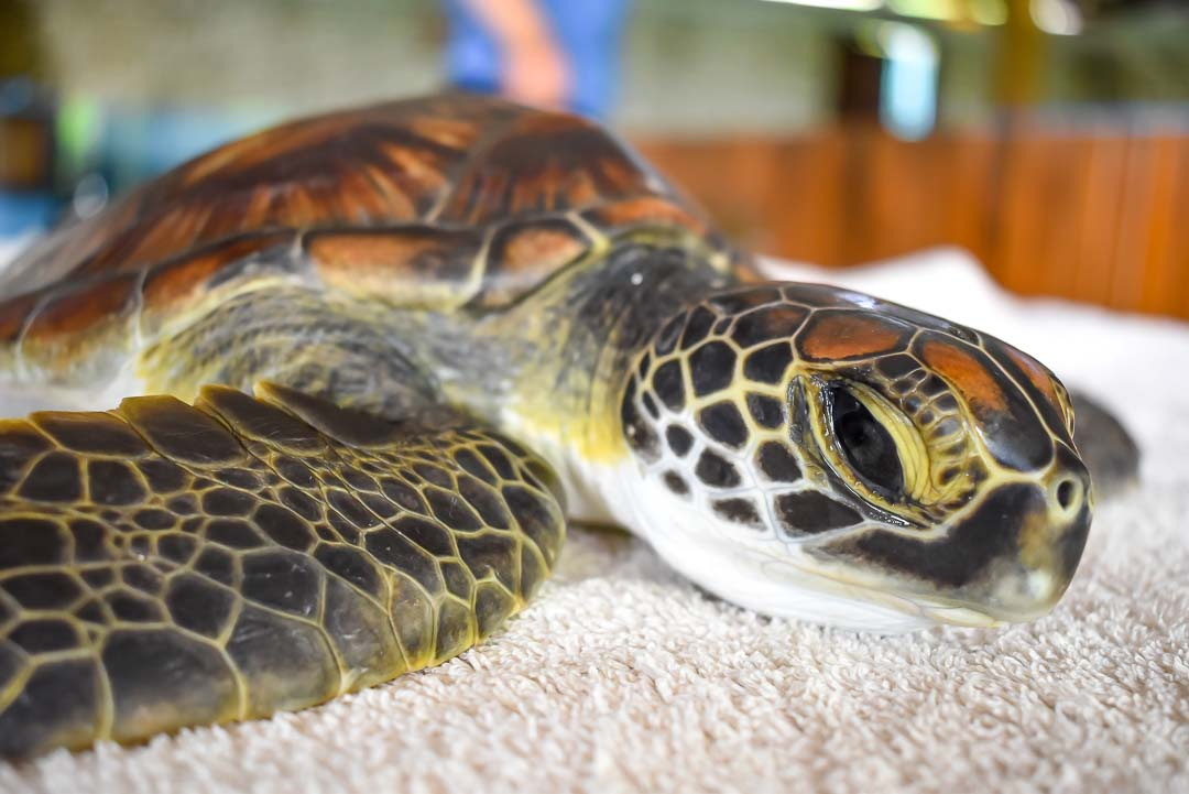Indra green turtle possible hybrid Marine Savers Maldives (4199)