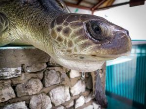 Taissya rescue Olive Ridley turtle Marine Savers Maldives (0718) (Taissya)
