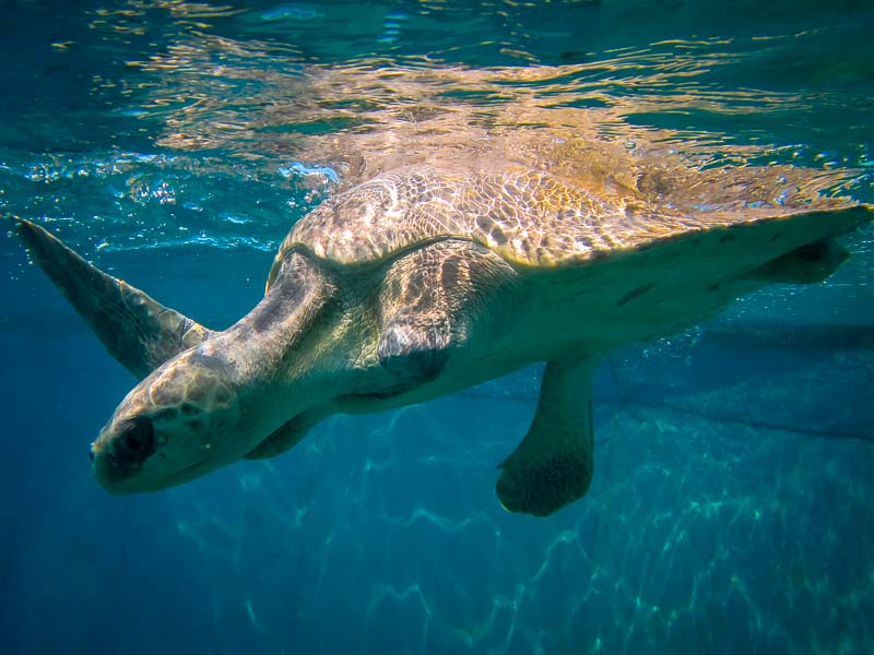 Albert Olive Ridley turtle in ocean enclosure